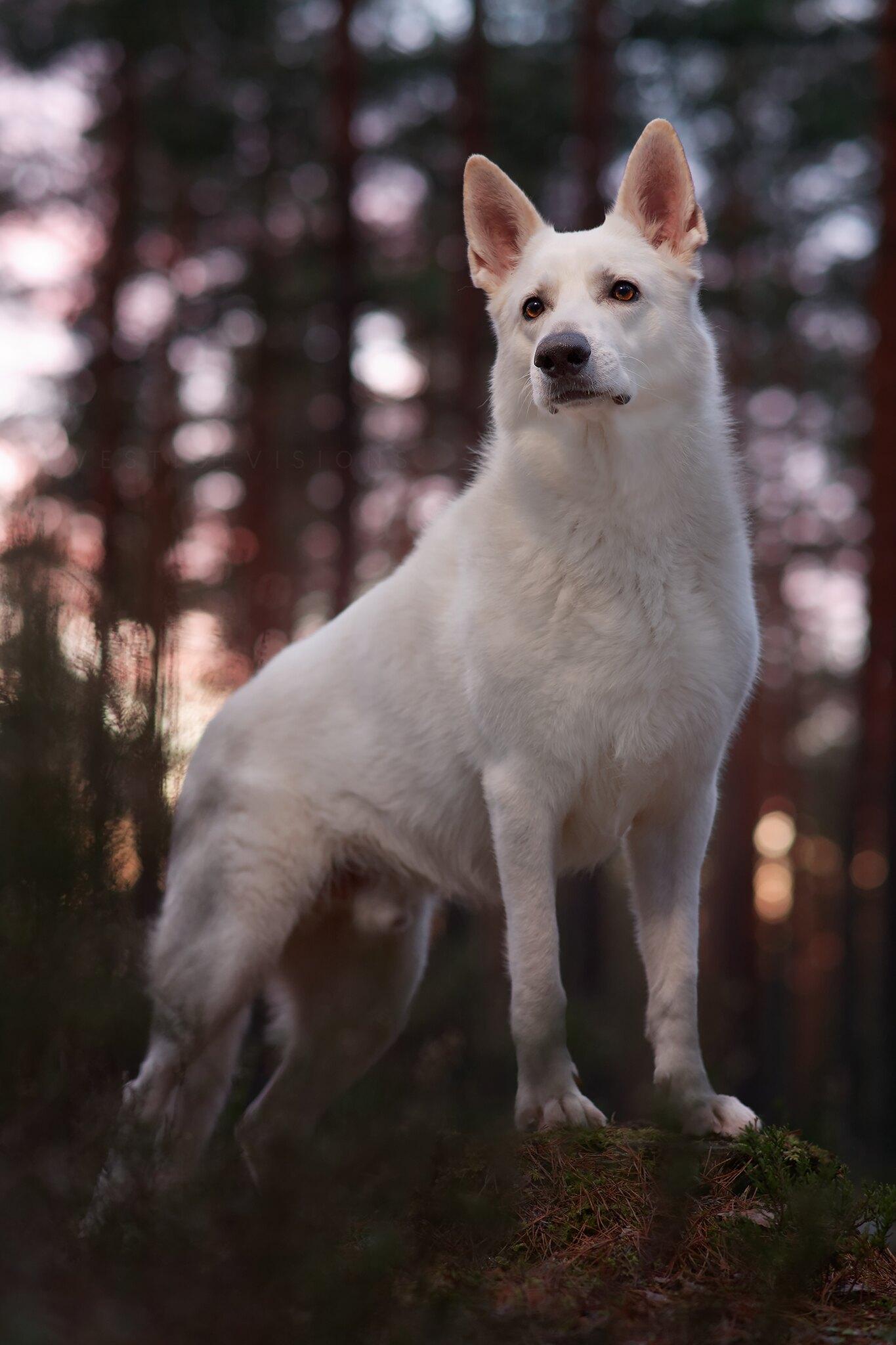 portrait dog white shepherd