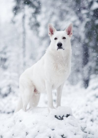 portrait dog winter white shepherd