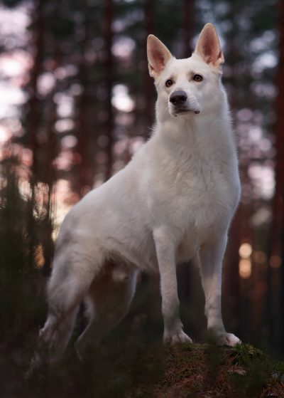 portrait dog white shepherd