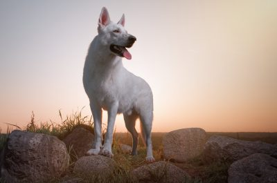 portrait dog white shepherd muotokuva