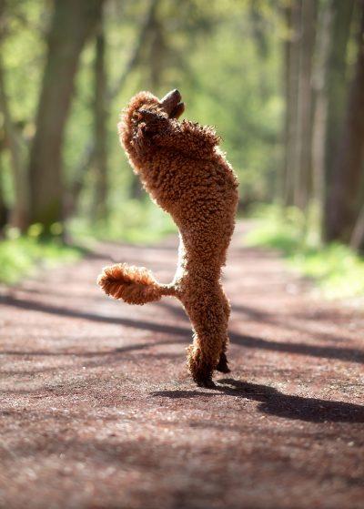 portrait dog wool