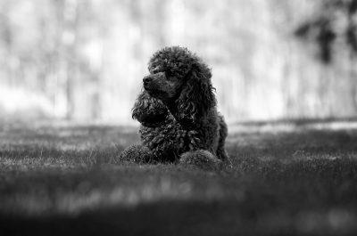 portrait dog wool villakoira