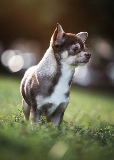 portrait dog chihuahua bokeh