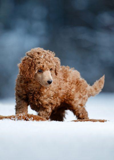 dog puppy koira koiranpentu lemmikkikuvaaja pet lemmikki valokuvaaja
